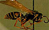 Fig. 3 Paper Wasp